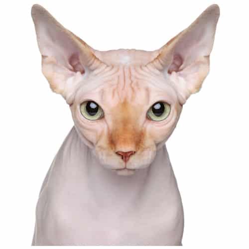 Arizona Sphynx Cat Breeder and Adoption - Beautiful Bennett