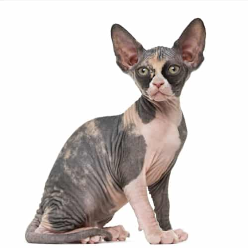Beautiful Bennett Sphynx Cat