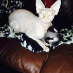 beautiful-bennett-sphynx-finn