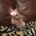 Beautiful Bennett Sphynx Tortie Female