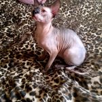Beautiful Bennett Sphynx Grimm 6