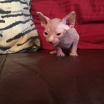 Beautiful Bennett Sphynx kitten
